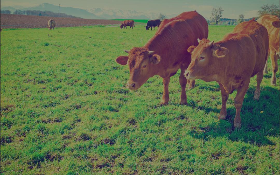 Plai cu vaci sau cum să fii primar bogat în Tg. Ocna!